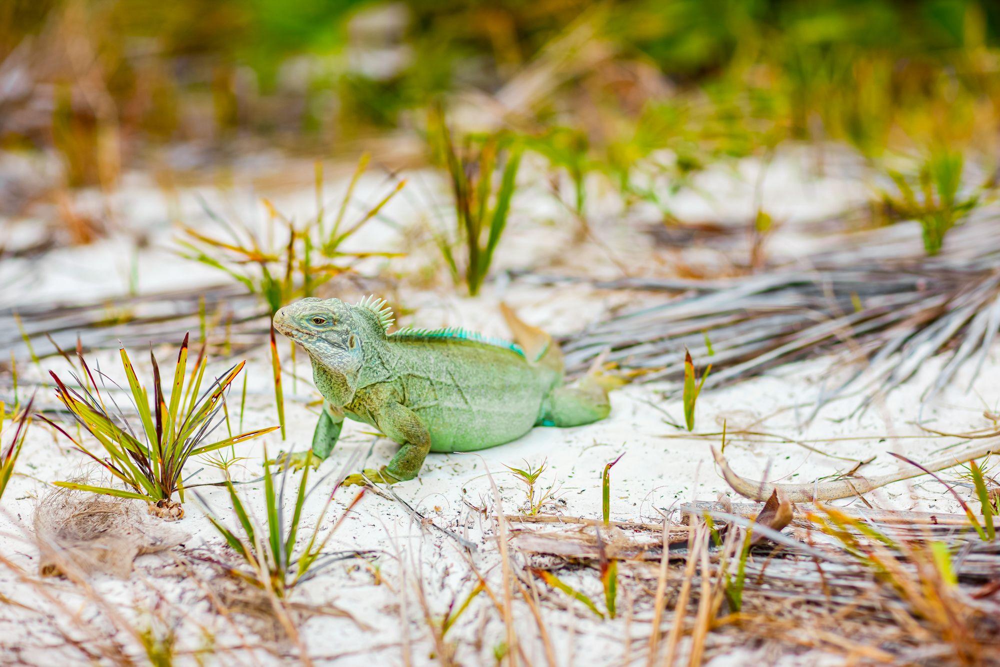 Rock Iguana Turks Caicos Beach